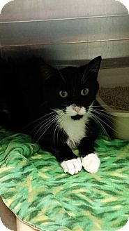 Domestic Shorthair Cat for adoption in Cody, Wyoming - Mr. Popper