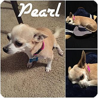 Chihuahua Mix Dog for adoption in Arlington, Texas - Pearl