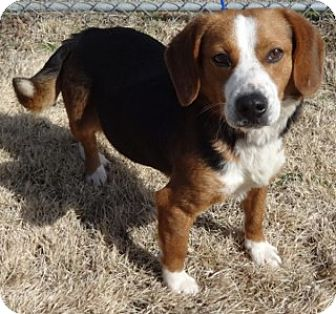 Beagle Mix Dog for adoption in Olive Branch, Mississippi - Clark