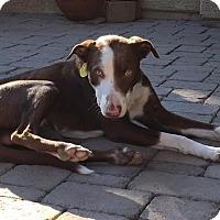 Adopt A Pet :: Kemper - Tempe, AZ