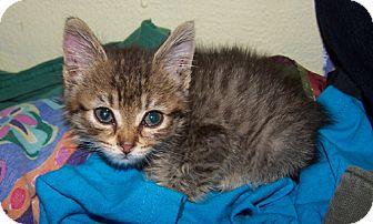 Domestic Mediumhair Kitten for adoption in Libertyville, Illinois - Brittany