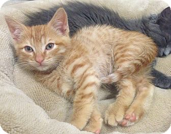 Domestic Shorthair Kitten for adoption in Los Angeles, California - Scotty