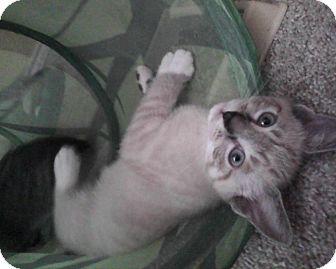Siamese Kitten for adoption in Mansfield, Texas - Tyler
