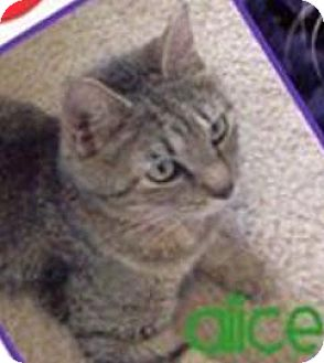 Domestic Shorthair Cat for adoption in Ludowici, Georgia - Alice