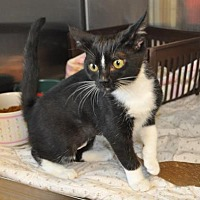 Domestic Shorthair/Domestic Shorthair Mix Cat for adoption in Pompano Beach, Florida - Parker