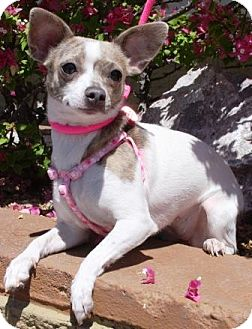 Chihuahua Mix Dog for adoption in Gilbert, Arizona - Phiggy
