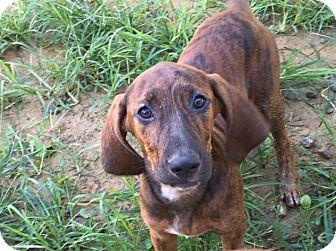 Bloodhound/Coonhound Mix Puppy for adoption in Charlotte, North Carolina - Becca