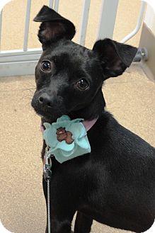 Chihuahua Dog for adoption in Brookings, South Dakota - Bella
