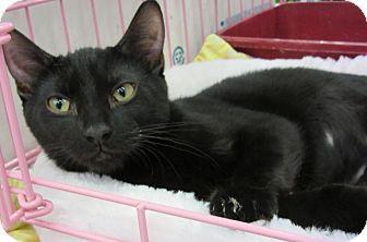 Domestic Shorthair Kitten for adoption in Roseville, Minnesota - Susie