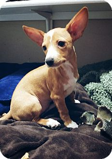 Dachshund/Chihuahua Mix Puppy for adoption in New Braunfels, Texas - Honey