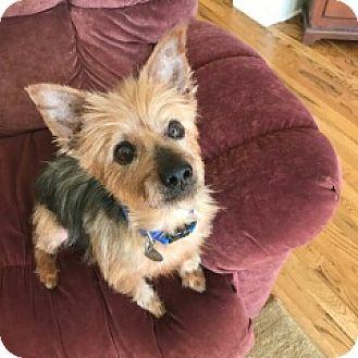 Yorkie, Yorkshire Terrier Mix Dog for adoption in Homewood, Alabama - Whiskey