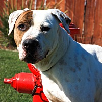 Adopt A Pet :: Alisdair - Stockton, CA