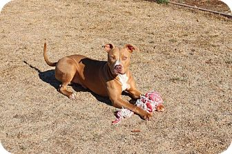 American Pit Bull Terrier Mix Dog for adoption in Yuba City, California - Abner