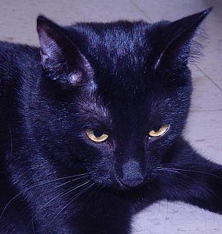 Domestic Shorthair Kitten for adoption in Holden, Missouri - Night Walker