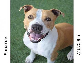 Staffordshire Bull Terrier Dog for adoption in Los Angeles, California - SHERLOCK