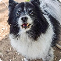 Adopt A Pet :: Peppy - Prosser, WA