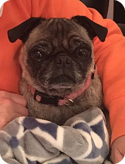 Pug Dog for adoption in Jackson, Tennessee - Buttons