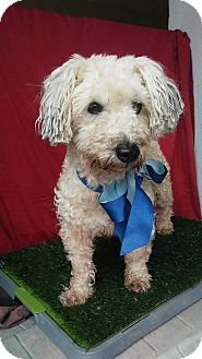 Poodle (Miniature) Mix Dog for adoption in pasadena, California - SAM