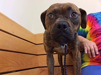 Boxer Mix Dog for adoption in Westminster, Maryland - Emmy