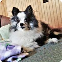 Adopt A Pet :: Diva - Tavares, FL