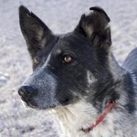 Shepherd (Unknown Type) Mix Dog for adoption in Taos, New Mexico - Bama