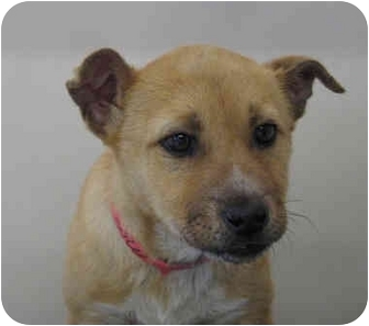 German Shepherd Dog/Labrador Retriever Mix Puppy for adoption in Gallup, New Mexico - Sweet baby