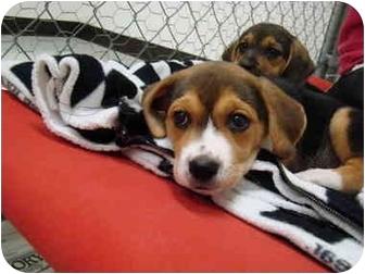 Beagle Mix Puppy for adoption in Vandalia, Illinois - Willow