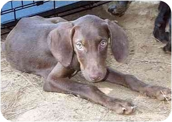 Weimaraner/Labrador Retriever Mix Puppy for adoption in Albany, Georgia - Butch