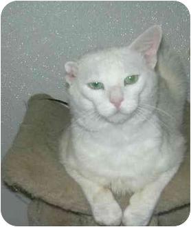 Domestic Shorthair Cat for adoption in West Warwick, Rhode Island - Dudley