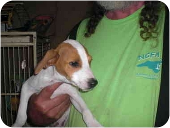 Jack Russell Terrier Mix Puppy for adoption in Lexington, North Carolina - Cindy