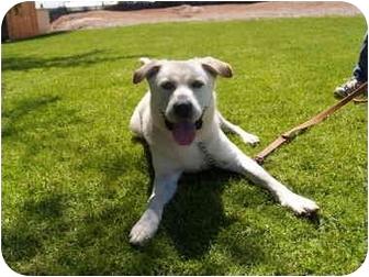 Labrador Retriever Mix Dog for adoption in El Cajon, California - Montana