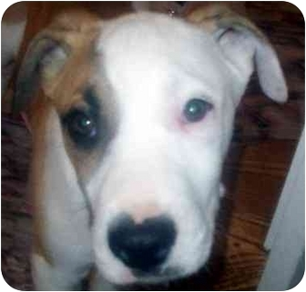 Boxer/Great Dane Mix Puppy for adoption in Chapel Hill, North Carolina - Ninja