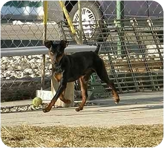 Manchester Terrier Dog for adoption in Meridian, Idaho - Phillip