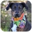 Photo 1 - Catahoula Leopard Dog/Terrier (Unknown Type, Small) Mix Dog for adoption in Portsmouth, Rhode Island - Belle