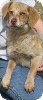 Beagle/Labrador Retriever Mix Dog for adoption in Newberry, South Carolina - Mandy
