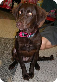 Spaniel (Unknown Type) Mix Dog for adoption in Humble, Texas - Lilly