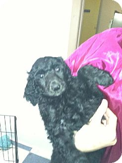 Poodle (Standard) Puppy for adoption in COLUMBUS, Ohio - Benny