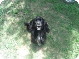 Cocker Spaniel Mix Dog for adoption in Gadsden, Alabama - Sammy