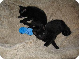 American Shorthair Kitten for adoption in Harrisburg, North Carolina - Haley