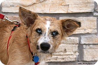 Australian Shepherd/Terrier (Unknown Type, Medium) Mix Puppy for adoption in Newcastle, Oklahoma - Lady Lisa