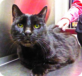 Domestic Shorthair Cat for adoption in Wantagh, New York - Ben