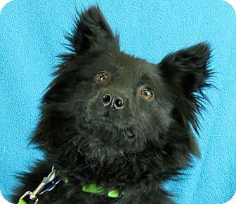 Spitz (Unknown Type, Medium) Mix Dog for adoption in Minneapolis, Minnesota - Fluffy