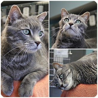 Domestic Shorthair Cat for adoption in Forked River, New Jersey - Binx