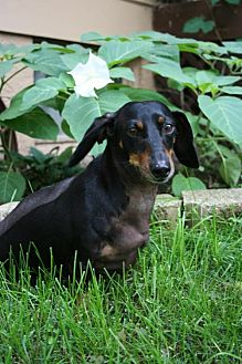 Dachshund Dog for adoption in Sioux Falls, South Dakota - Toby(cart dog)