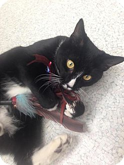 Domestic Shorthair Cat for adoption in Newport Beach, California - Fred