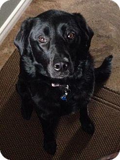 Labrador Retriever/Border Collie Mix Dog for adoption in Regina, Saskatchewan - Marli