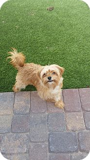 Maltese/Yorkie, Yorkshire Terrier Mix Puppy for adoption in Las Vegas, Nevada - Mini
