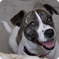 Adopt A Pet :: Sweet Caroline - Austin, TX