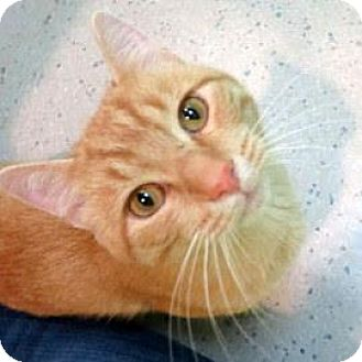 Domestic Shorthair Cat for adoption in Janesville, Wisconsin - Pumpkin