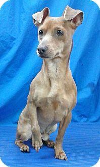 Chihuahua Mix Dog for adoption in Spokane, Washington - Jobe